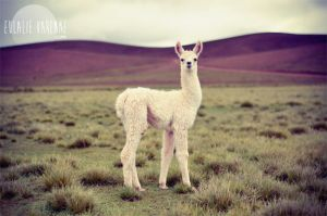 Lama by eulalievarenne