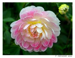 rose dahlia by bracketting94