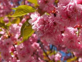 Cherry Blossoms by Garul