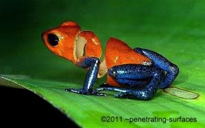 The frog and the orange by penetrating-surfaces
