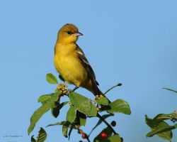 Female Orchard Oriole by natureguy