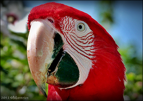 Macaw by Mantrize