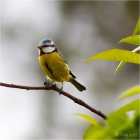 Blue Tit by Peug