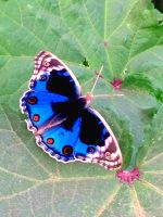 Blue butterfly by Sam-432