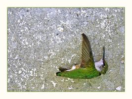 Why do Hummingbirds Hum? by moeuf