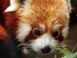 Red panda 2 by JanuaryGuest
