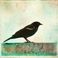 6 x 6 Red Wing Black Bird by Moon-Willow
