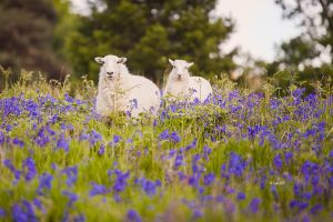 Blue Bell Sheep by Lain-AwakeAtNight