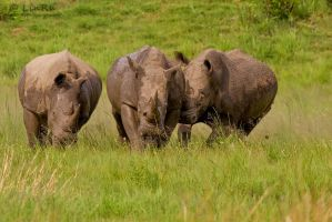 Rhinos at Play by LinRuPhotography