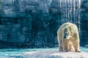 Spectacular Polar Bear by LaoZhaBao