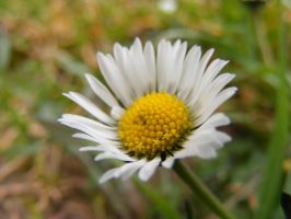 The small white flower by TomorrowPhotographer