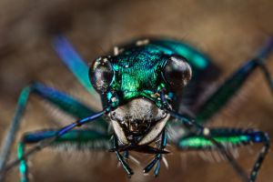 Six-Spotted Tiger Beetle II by lord-creeper