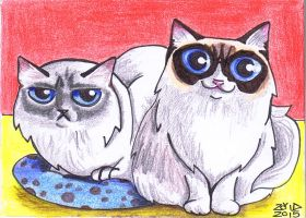 ACEO artcard funny cat Ragdoll commission by KingZoidLord