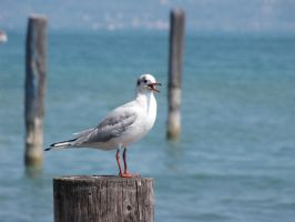 Seagull by bibarry