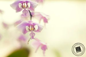 Pink Orchid by mariesturges