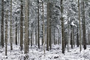 Snowy Forest by cwaddell