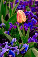 Colorful tulip by freaky-x