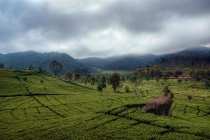 Rancabali Tea Farm by mayonzz