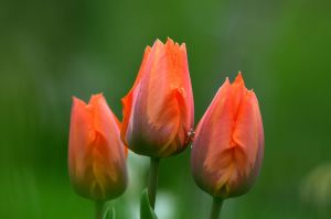 tulips after rain by Aeliquia