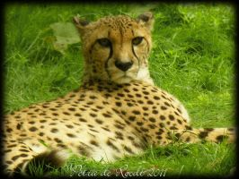 Cheetah at Planckendael Zoo, Belgium 1 by spaceship505