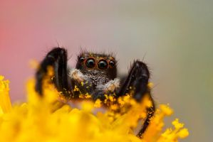 Jumping Spider II by evirgen2008