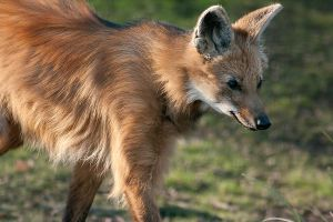 Maned Wolf II by Predators-Prey