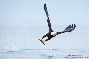 Bald Eagle snatch by gregster09