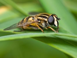Drone Hoverfly by Injato