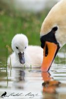 You teach me, Mom? - Young Mute swan (Cygnus olor) by PhotoDragonBird