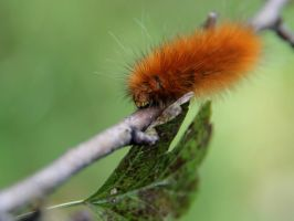 Wooly Bear Caterpillar by KMourzenko
