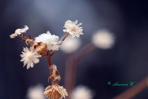Winter flowers... by aneresia