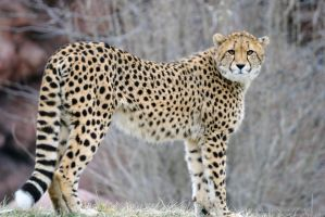 Cheetah 5 by 8TwilightAngel8