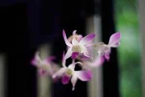 More Orchids? by Pollito-is-Artzy