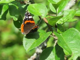Red Admiral 2 by Temansha