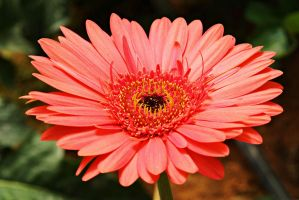Red gerbera daisy by a6-k