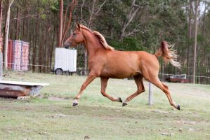 Dn warmblood elevated trot side view by Chunga-Stock