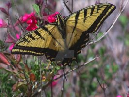 Western Tiger Swallowtail by Barn0wl