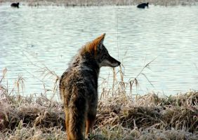 Starving Coyote by Sheriannphotography