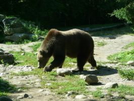 Grizzly Bear 26 by Unseelie-Stock