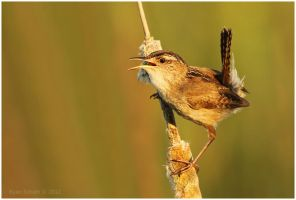 Marsh Wren by Ryser915