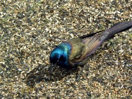 GRACKLE by sharkbaits