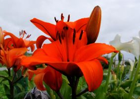 Red Lily by meenags