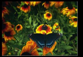 Red Spotted Purple by dogmadic