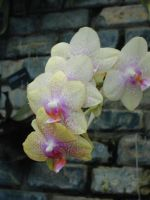Yellow orchid - stock by NyxErebus