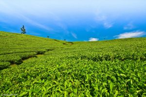 Tea plantations by eyesweb1