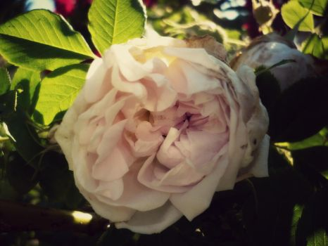 white rose by Foreigner227