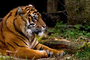 Sumatran Tiger by ERB20