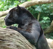 Panther by weecritter