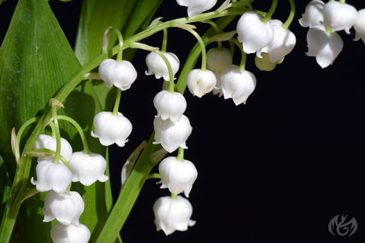 lily of the valley by Seleyana