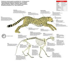 Cheetah - Anatomy by Lioness-Nala